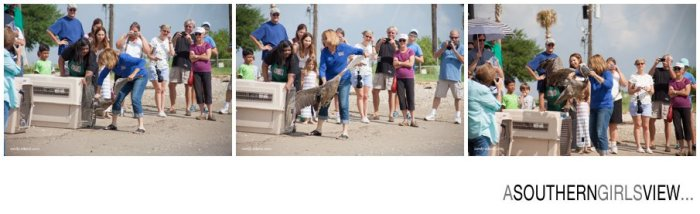 Sandy Adams Photography Wildlife Center Pelican Release Seabrook Nature photographer-3402