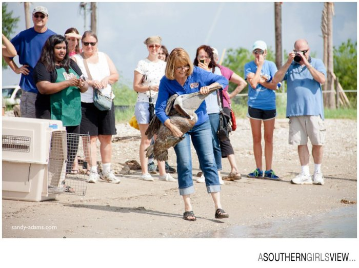 Sandy Adams Photography Wildlife Center Pelican Release Seabrook Nature photographer-3420