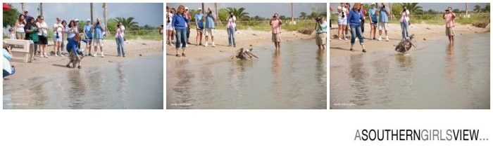 Sandy Adams Photography Wildlife Center Pelican Release Seabrook Nature photographer-3421