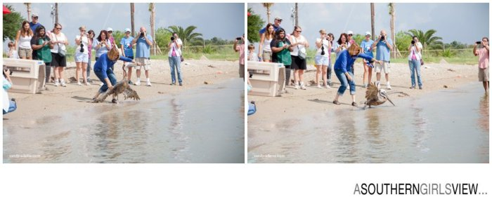 Sandy Adams Photography Wildlife Center Pelican Release Seabrook Nature photographer-3422