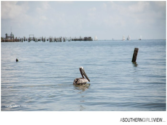 Sandy Adams Photography Wildlife Center Pelican Release Seabrook Nature photographer-3438