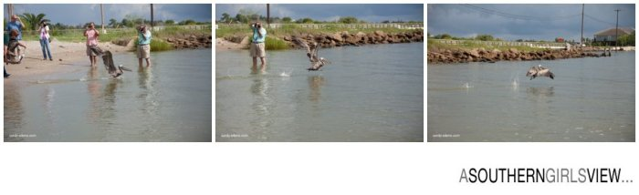 Sandy Adams Photography Wildlife Center Pelican Release Seabrook Nature photographer-3446