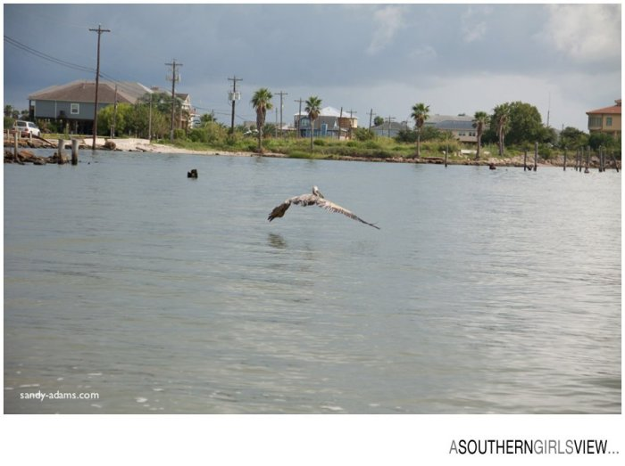 Sandy Adams Photography Wildlife Center Pelican Release Seabrook Nature photographer-3450