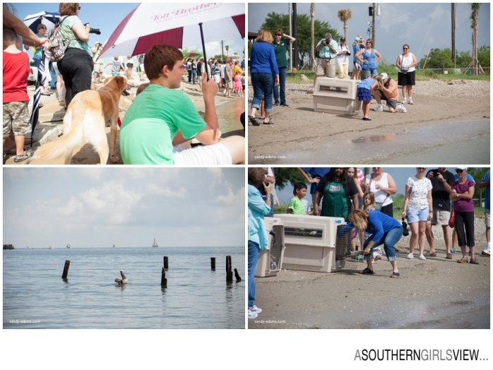 Sandy Adams Photography Wildlife Center Pelican Release Seabrook Nature photographer-3456